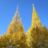 やっぱり、神宮外苑いちょう並木よねェ。