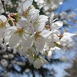 目黒川 お花見ウォーク。