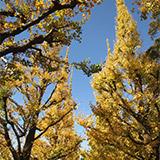 毎年恒例 青山神宮外苑銀杏並木とまつり。