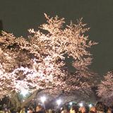 上野公園の夜桜見物とゴミの山。