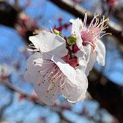 井の頭公園で花見していいのかしら。